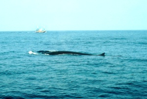 Fin Whale Species Photo