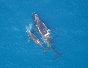 North Atlantic Right Whale Species Photo