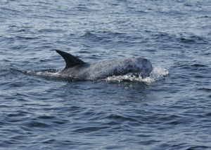 Risso's Dolphin Species Photo