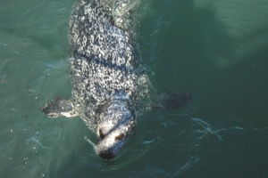 Harbor Seal Species Photo
