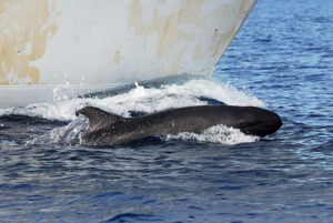 False Killer Whale Species Photo