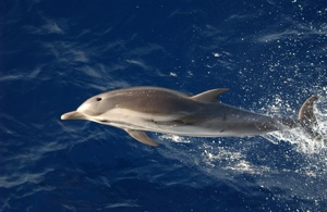 Striped Dolphin Species Photo