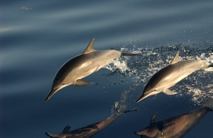 Spinner Dolphin Species Photo