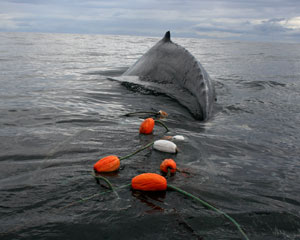 Humpback whale entangled in a gillnet